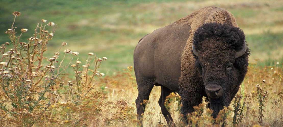 All Green Recycling Updates on bison slaughter